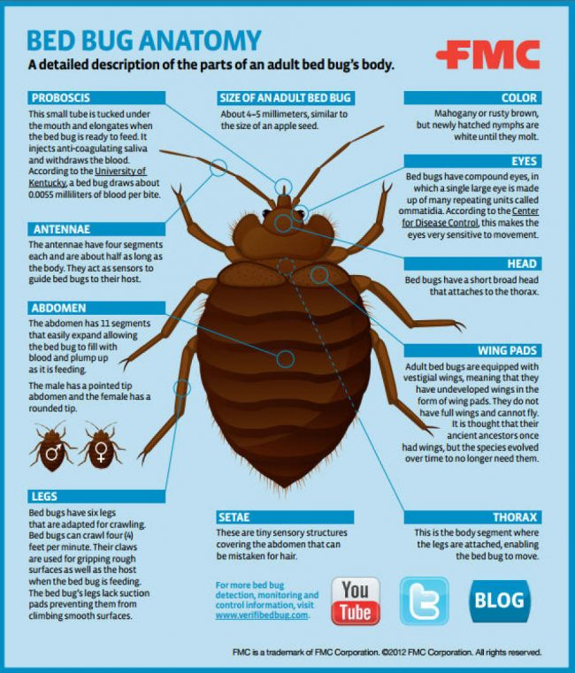 100 do bed bugs have wings bedbugs