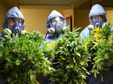 Halton Police seize $1.3 Million worth of  Marijuana in Oakville raid.