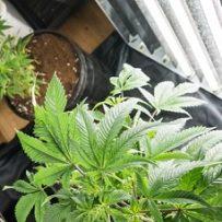 Can marijuana dispensaries enhance home values?